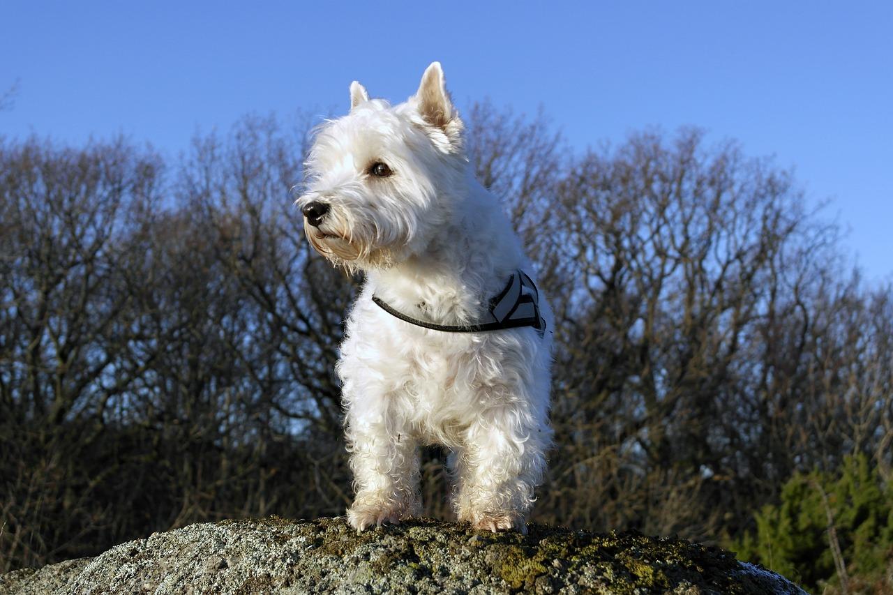 Highland Terrier Image