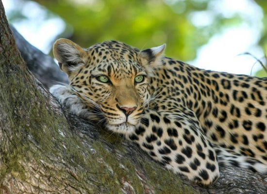 Leopard resting on tree