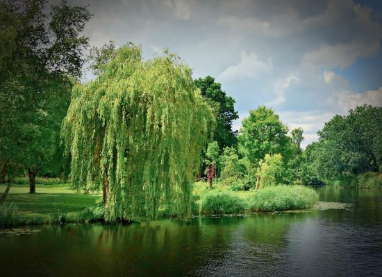 Weeping Willow Tree by Lake